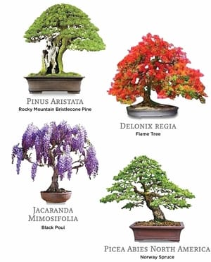 Best bonsai indoor trees