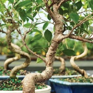 Brussels live golden gate ficus indoor bonsai tree