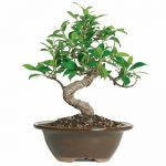 Brussel's Live Golden Gate Ficus Indoor Bonsai Tree