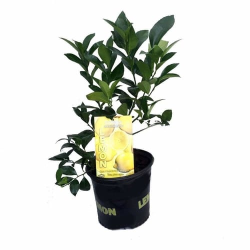 Meyer lemon indoor tree